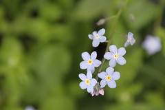 flower, plant, nature, macro photography, flora, green, forget-me-not, close-up, petal,