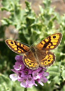 Wall Brown Butterfly,lasiommater megera