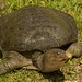 Florida Softshell Turtle - Photo (c) Nick Miller, some rights reserved (CC BY-NC-SA)