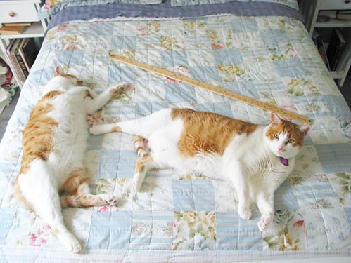 They look like normal cats until you put a yardstick next to them, and then their catbeastness becomes clear. Had we not fed them, this never would have happened.  (Tenzing is on your left, Edmund on your right.)
