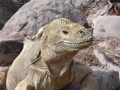 animal, reptile, lizard, komodo dragon, fauna, iguana, scaled reptile, wildlife,