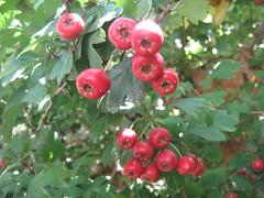 evergreen(0.0), shrub(0.0), acerola(0.0), flower(0.0), rosa rubiginosa(0.0), rosa canina(0.0), crataegus pinnatifida(0.0), rose hip(0.0), berry(1.0), flora(1.0), produce(1.0), fruit(1.0), food(1.0), hawthorn(1.0),