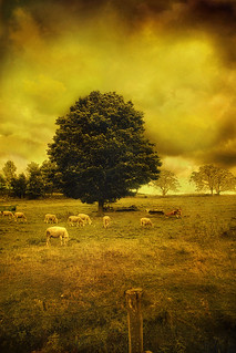 Waitsfield Sheep: Golden Sky