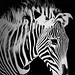 Zebra by axsnyder