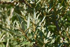 Hippophae rhamnoides (Sea-Buckthorn) - 06 - foliage