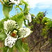 Bipinula fimbriata by huilli