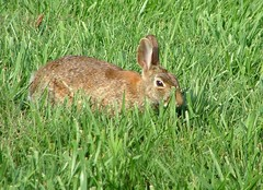 animal(1.0), prairie(1.0), hare(1.0), grass(1.0), rabbit(1.0), domestic rabbit(1.0), pet(1.0), fauna(1.0), wood rabbit(1.0), meadow(1.0), lawn(1.0), grassland(1.0), rabits and hares(1.0), wildlife(1.0),