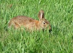 animal, prairie, hare, grass, rabbit, domestic rabbit, pet, fauna, wood rabbit, meadow, lawn, grassland, rabits and hares, wildlife,