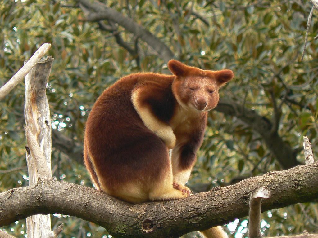 goodfellows tree kangaroo poses for me
