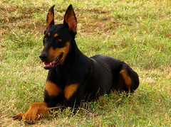 dog breed, animal, dog, german pinscher, manchester terrier, dobermann, vulnerable native breeds, guard dog, miniature pinscher, pinscher, toy manchester terrier, english toy terrier, carnivoran,
