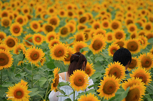 walking through the maze of sunflower