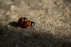 arthropod, animal, ladybird, soil, nature, invertebrate, insect, macro photography, fauna, close-up, beetle, wildlife,