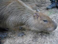 pig-like mammal(0.0), wildlife(0.0), animal(1.0), rodent(1.0), fauna(1.0), capybara(1.0),