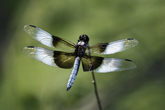 Widow Skimmer - Photo (c) John Wright, some rights reserved (CC BY-NC-ND)