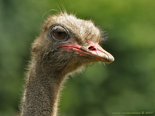 Muddy Ostrich