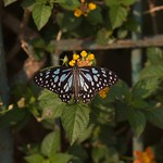 Blue Tiger Butterfly - Mumbai