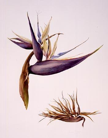 """Jessica Tcherepnine, Strelitzia nicolai Watercolor, 30"""" × 22"""". © Copyright Brooklyn Botanic Garden"""