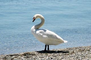 Image of  Plage du Pélican. lake beach switzerland swan europe suisse geneva lac lausanne léman plage cygne stsulpice lakegeneva vaud pélican
