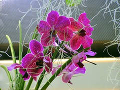 spotted_orchid