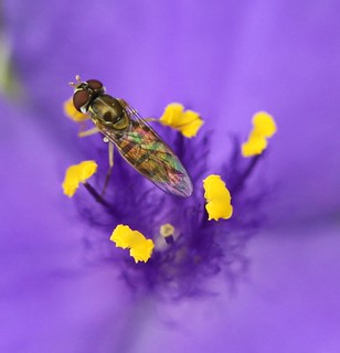 Spiderwort Surfer