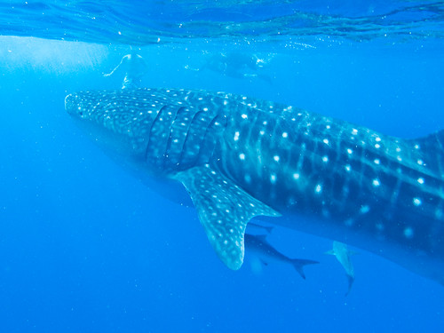 Ningaloo Reef - 10 best places on Earth to swim with sharks