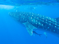 Close up view of a whale shark