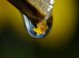 playing with a drop of water and a daffodil
