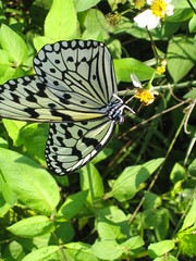 arthropod, pollinator, animal, moths and butterflies, butterfly, flower, invertebrate, fauna, pieridae,