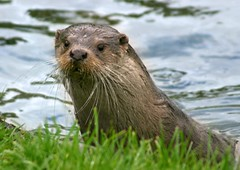 animal, mustelidae, mammal, fauna, sea otter, whiskers, wildlife,