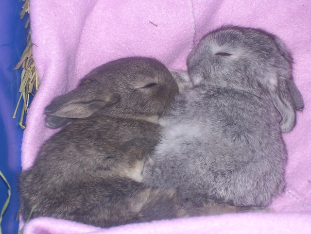 two grey bunnies