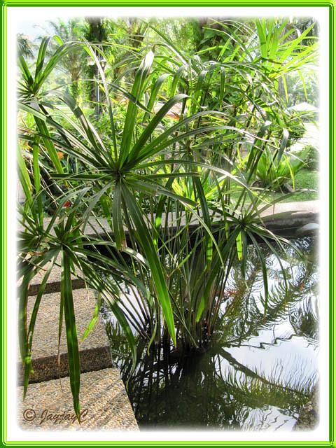 Dwarf Umbrella Palm hardy small container pond plant | eBay