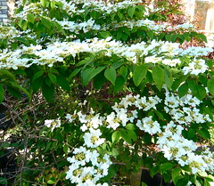 evergreen, shrub, flower, guelder rose, plant,