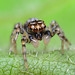 Jumping Spider - Maevia inclemens? 8 Photos