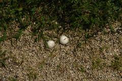 Not golf balls but mushrooms