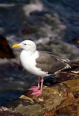 "San Francisco - Marina Boulevard ""Silver Gull"""