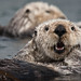 (1 of 5) California Sea Otter (Enhydra lutris) resting in a colony of a dozen sea otters and wrapped in kelp