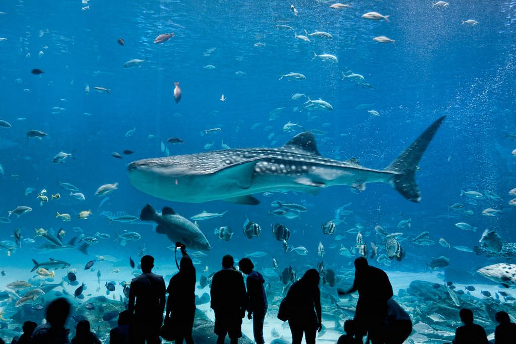 Whale shark at Georgia Aquarium   Whale shark at Georgia ...
