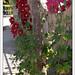 Small photo of Althaea Rosea: MALVARROSA