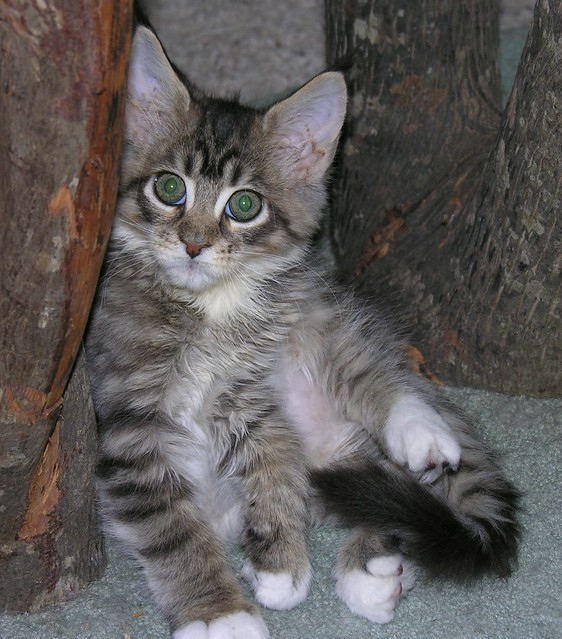 Brown Mackeral Tabby and White Maine Coon Kitten | Flickr ...