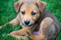 Roxas Puppy
