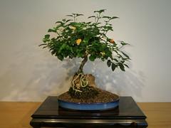 produce(0.0), art(1.0), flower(1.0), plant(1.0), sageretia theezans(1.0), houseplant(1.0), ikebana(1.0), bonsai(1.0),