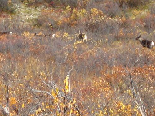 Caribou herd #1