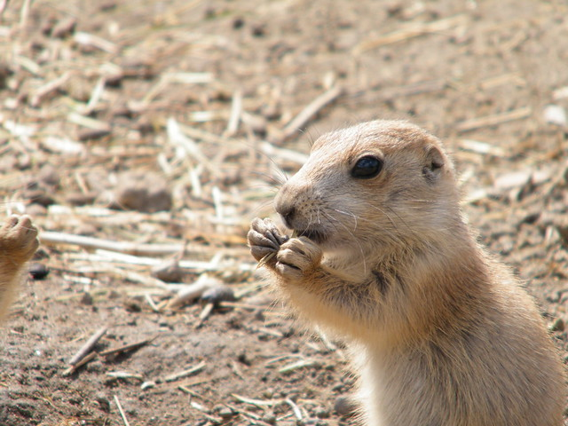 Baby prairie dog eating | Flickr - Photo Sharing!