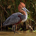 Goliath Heron - Photo (c) Arno Meintjes, some rights reserved (CC BY-NC)