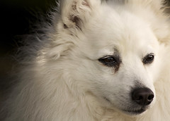 dog breed, animal, german spitz klein, dog, japanese spitz, volpino italiano, german spitz, canadian eskimo dog, german spitz mittel, close-up, carnivoran, american eskimo dog, samoyed,