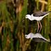 Black-winged Stilt (Himantopus himantopus) by Gerhard Theron