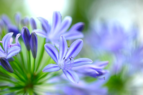 African Lily、Nile Lily 愛情花