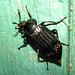 Red-lined Carrion Beetle - Photo (c) kestrel360, some rights reserved (CC BY-NC-ND)