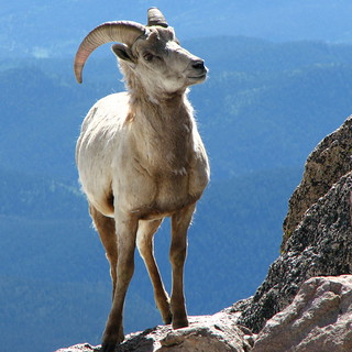Ram in the Rockies