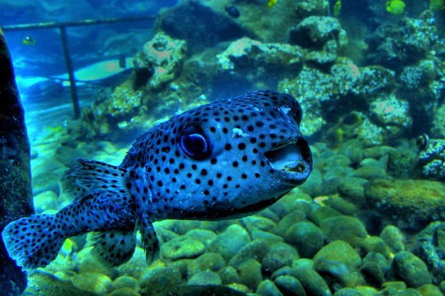 Fugu flickr photo sharing for Japanese puffer fish